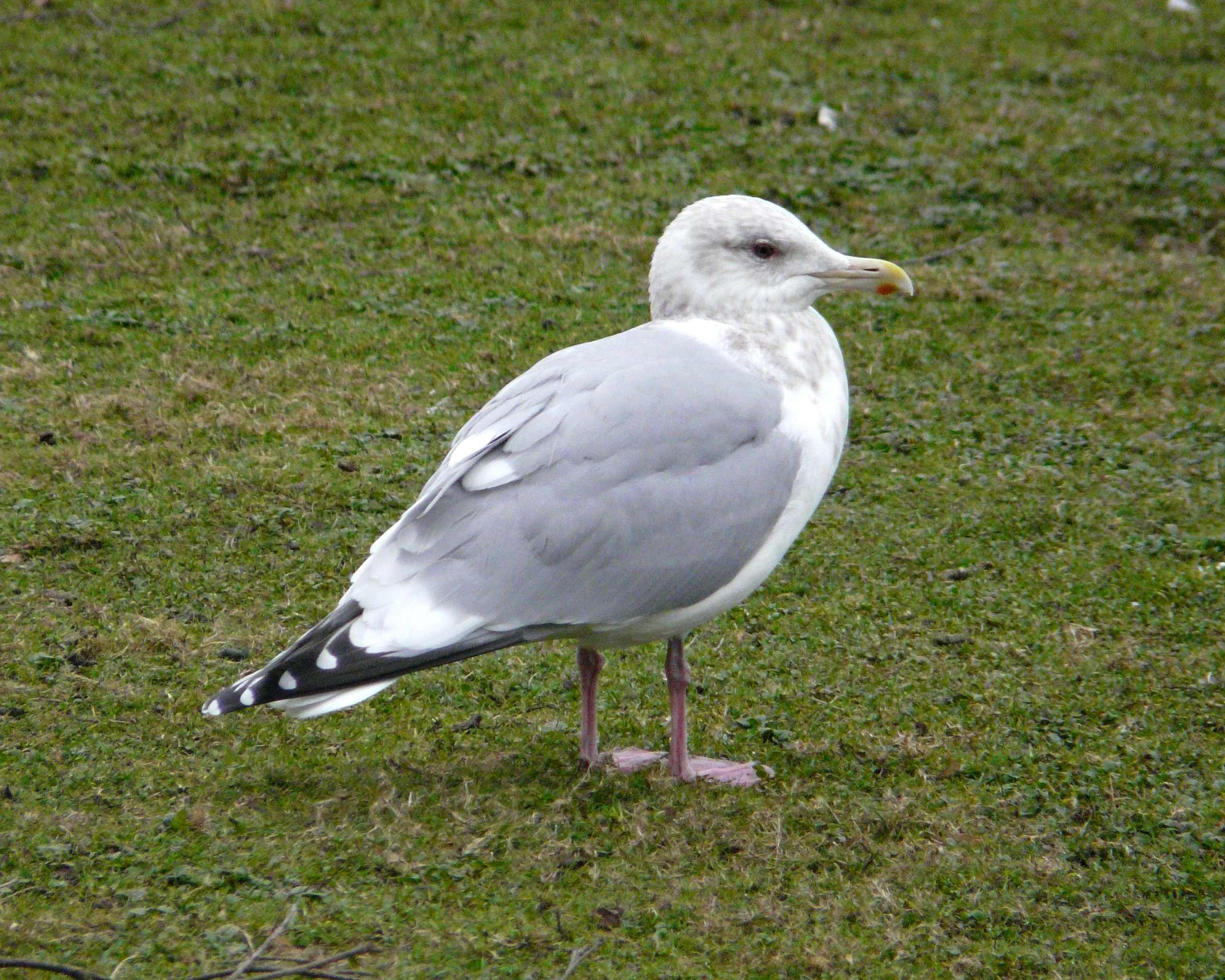 UK400ClubRareBirdAlert: A typical juvenile THAYER'S GULL |Thayers Gull