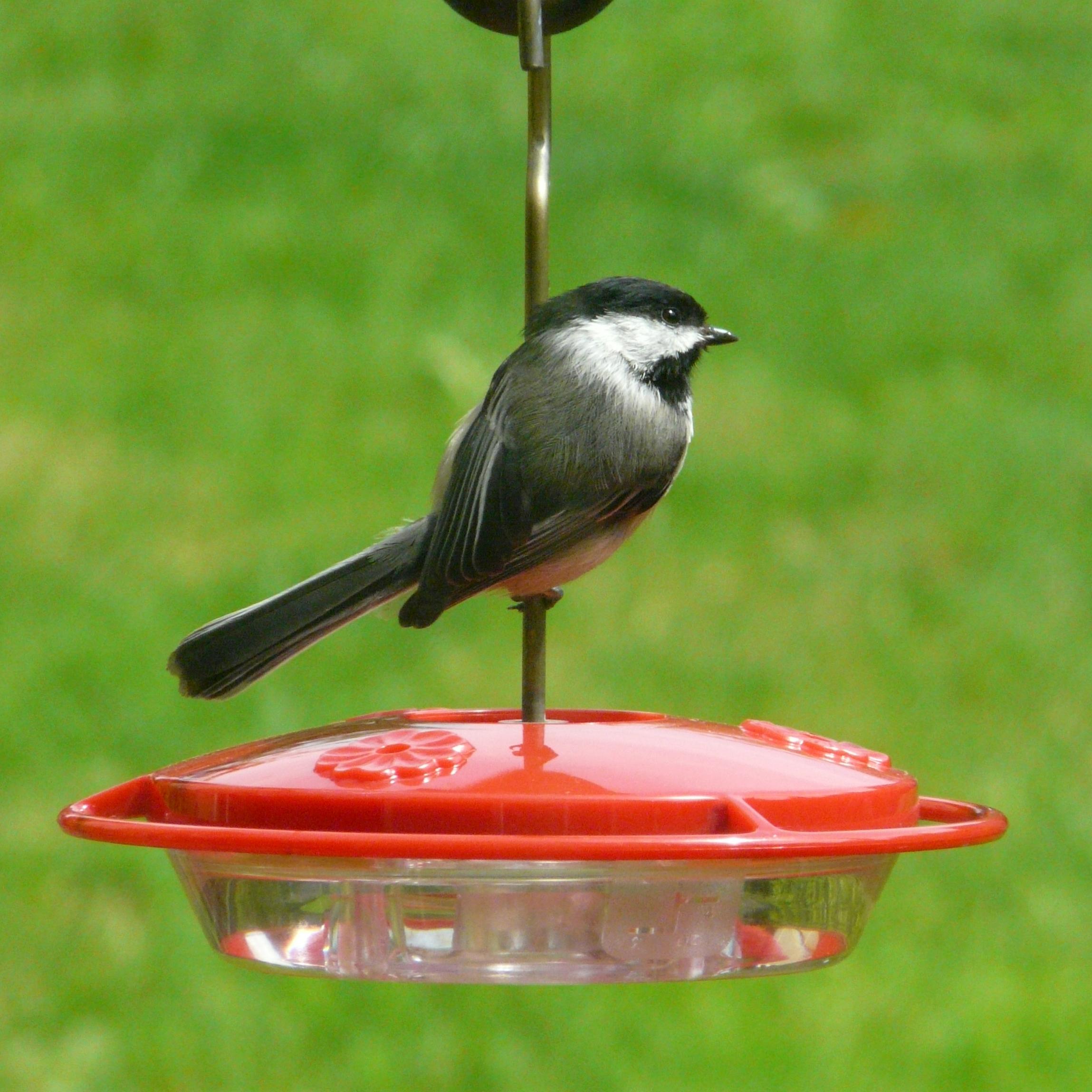 Chickadee Hummingbird Feeder of my Hummingbird Feeders