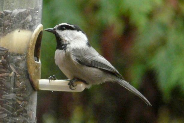 birdhouse plans chickadees