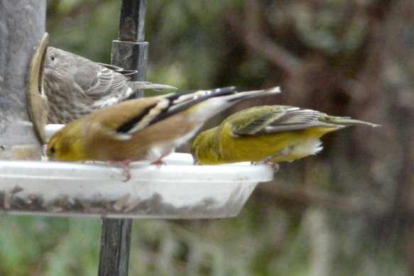 american and lesser goldfinch