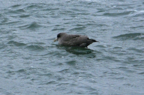 northern fulmar