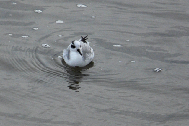 red phalarope front