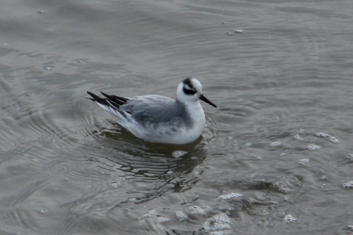 red phalarope right