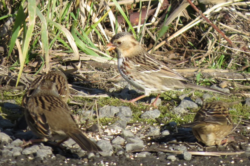 harris's and golden-crowned