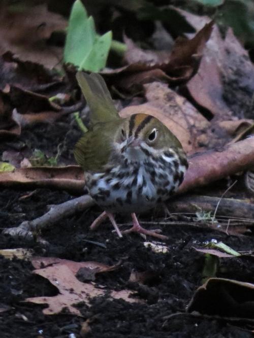 ovenbird front