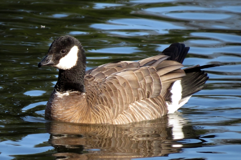 ridgeway's cackling goose left