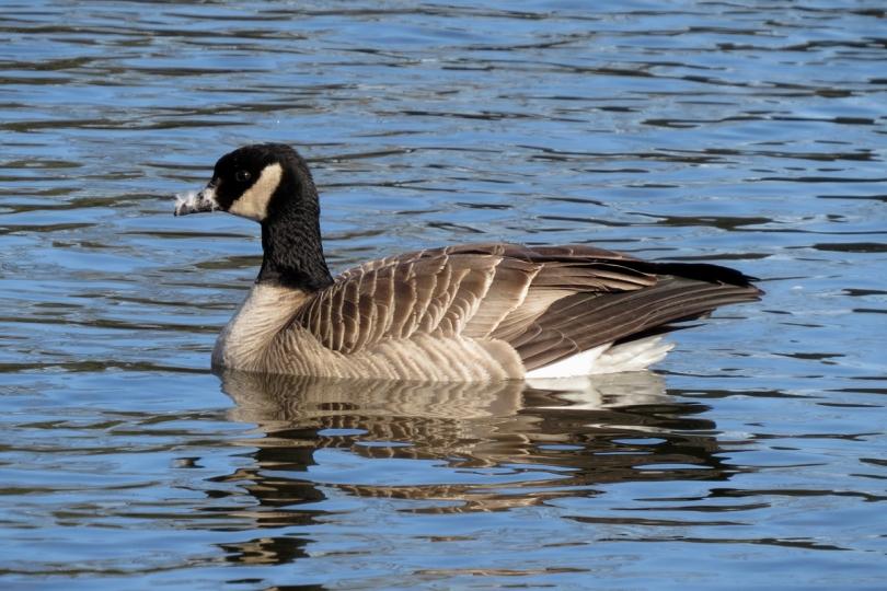 taverner's cackling goose