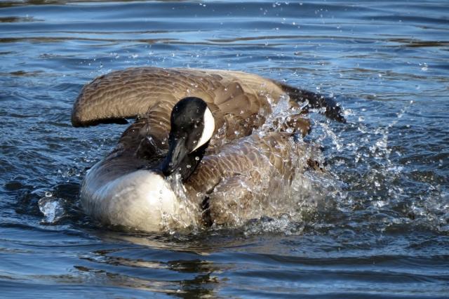western canada goose bathing