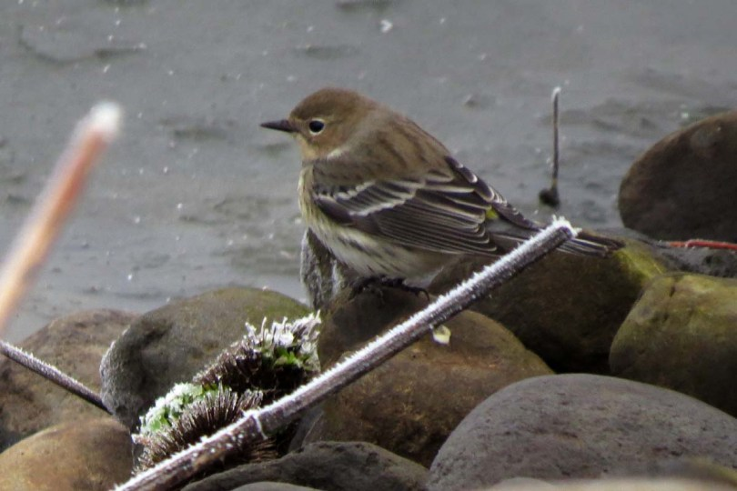 yellow-rumped on rocks
