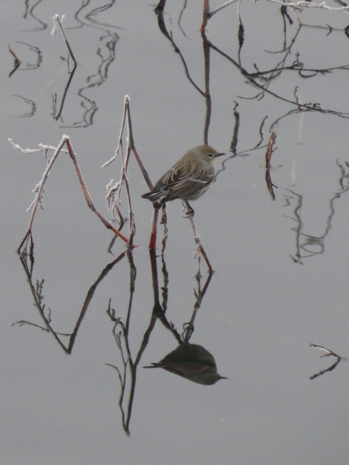 yellow-rumped reflection 1