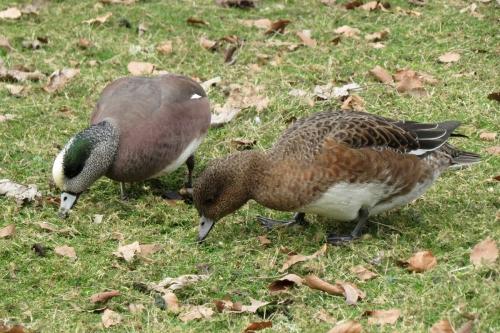 american and eurasian wigeon