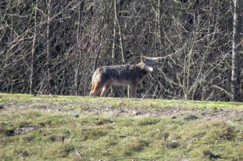 coyote ankeny