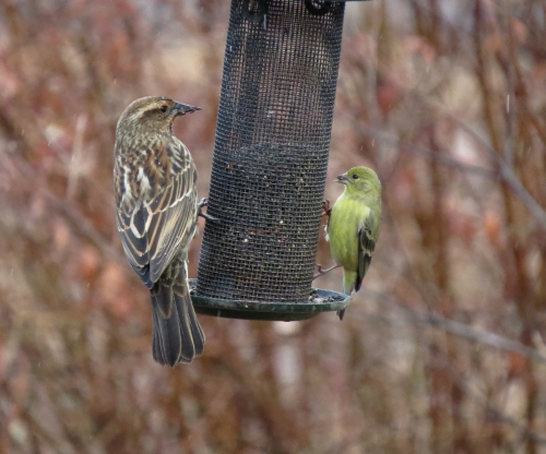 red-winged blackbird and lesser goldfinch