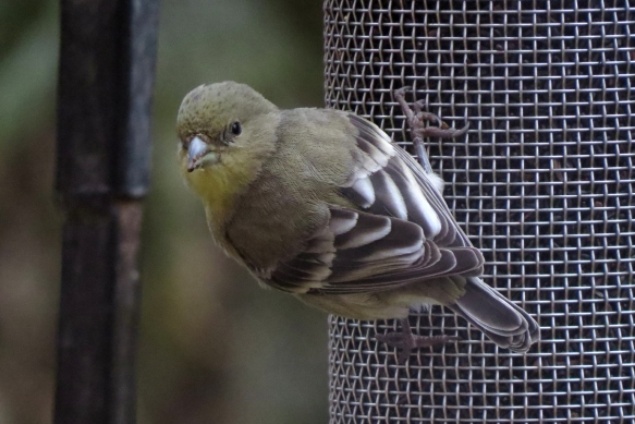 lesser goldfinch back
