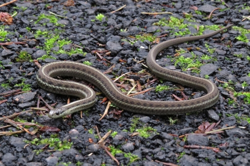 northwestern garter