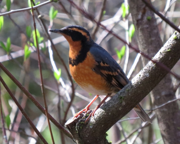 varied thrush profile