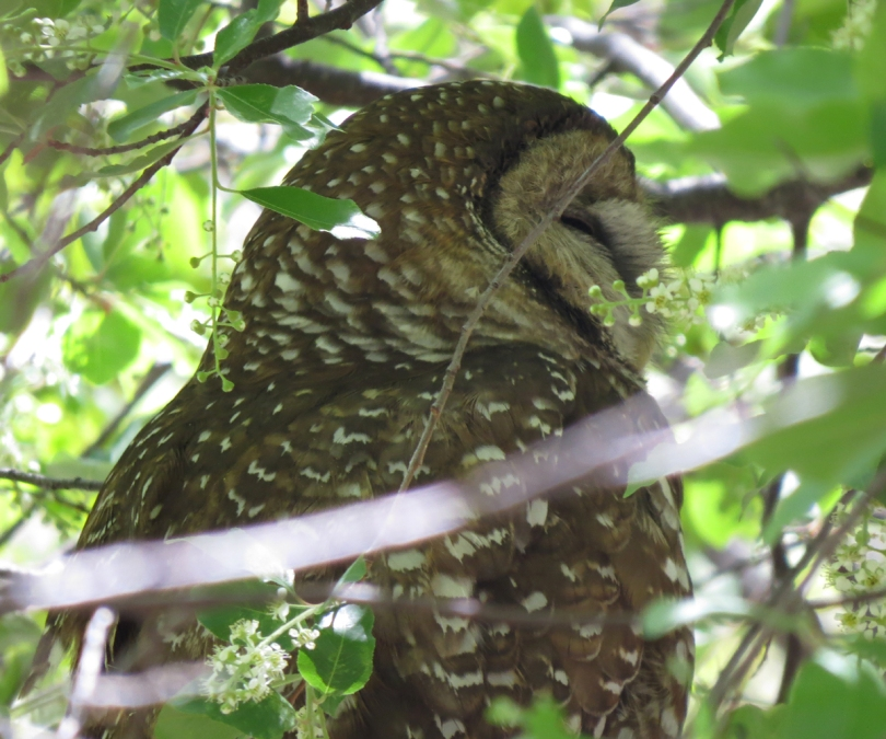spotted owl closeup