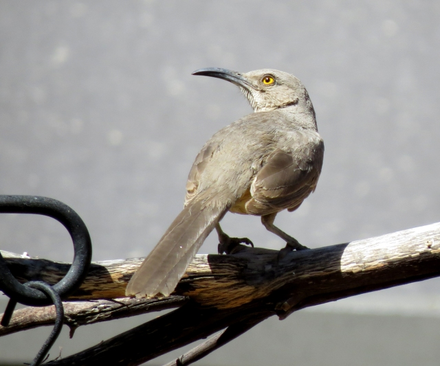 curve-billed thrasher 2