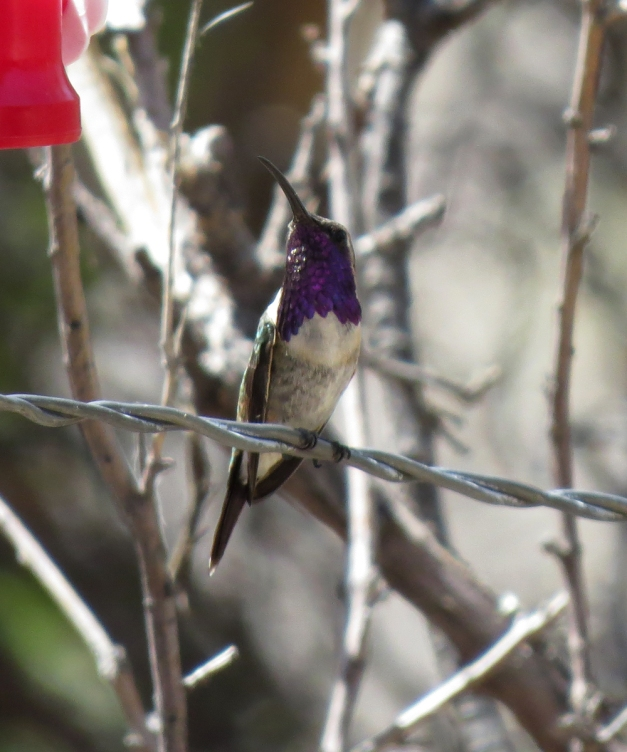 lucifer hummingbird 3