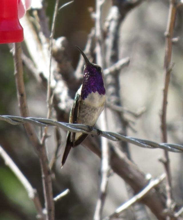 lucifer hummingbird 3