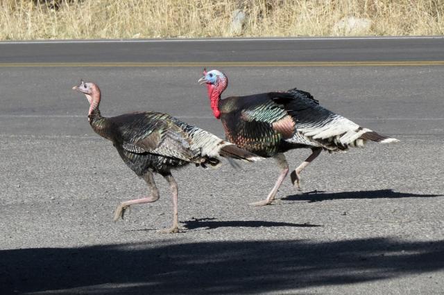 turkey trot1