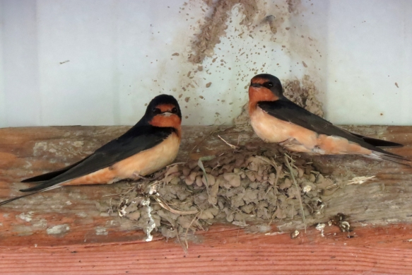 barn swallow 4