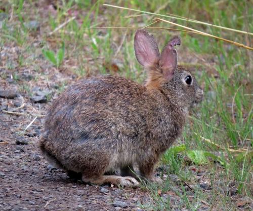 brush rabbit 1
