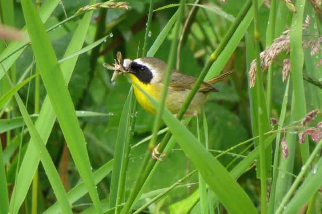 common yellowthroat 1