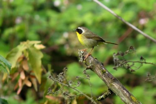 common yellowthroat 2