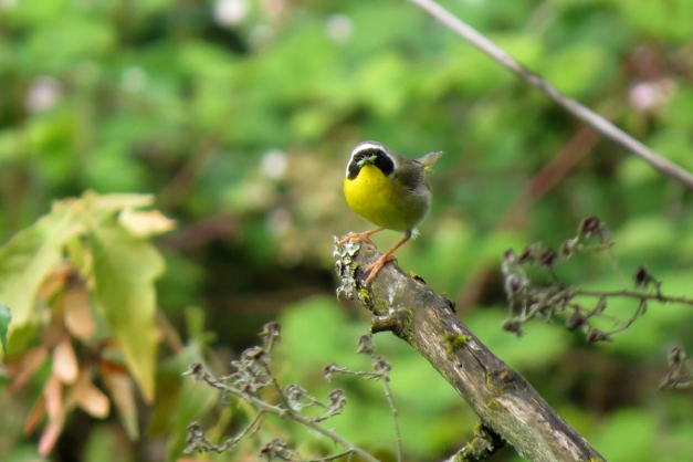 common yellowthroat front