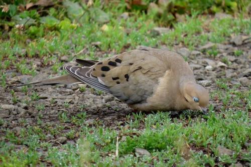 mourning dove eyes closed