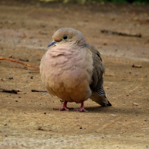mourning dove front