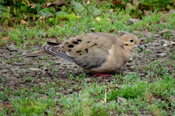 mourning dove3
