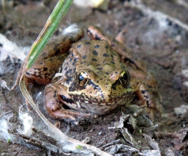 red-legged frog 3