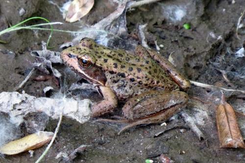 red-legged frog 4