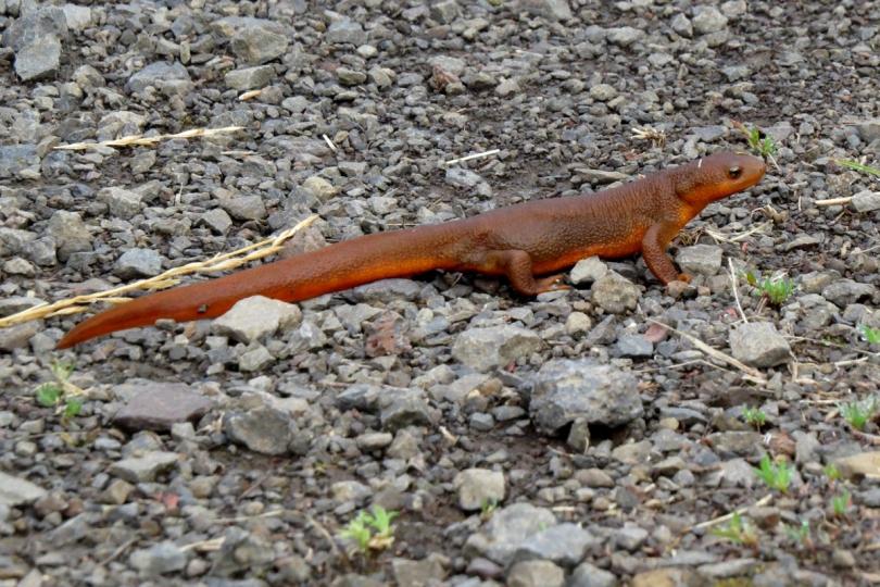 rough-skinned newt 2