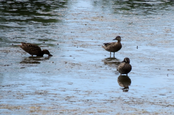 blue-winged and cinnamon teal