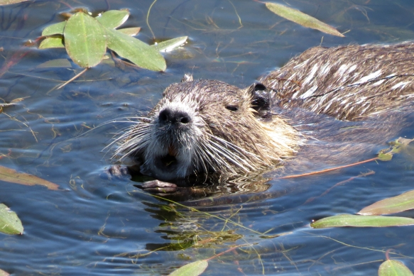 nutria eating 3