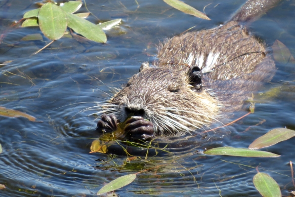 nutria eating