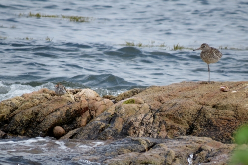 spotted and willet small