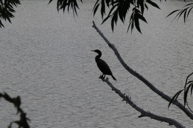 cormorant backlit