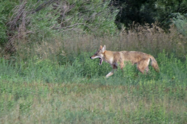 coyote yawning