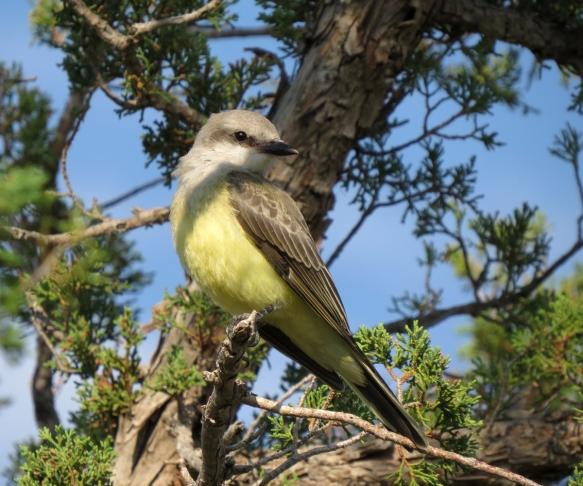 kingbird 2