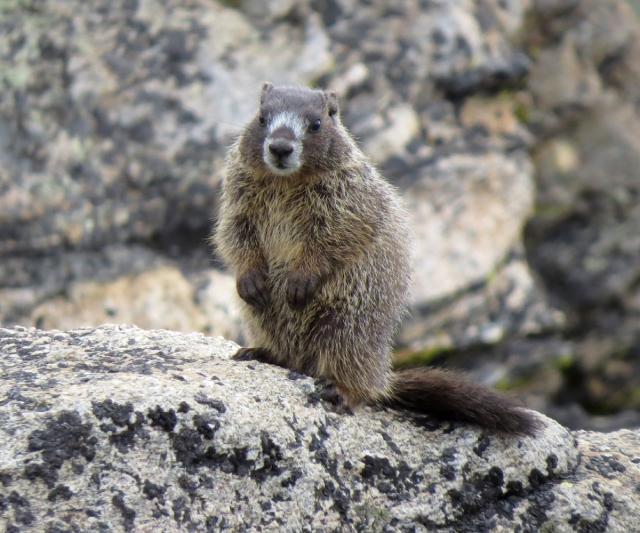 marmot 4
