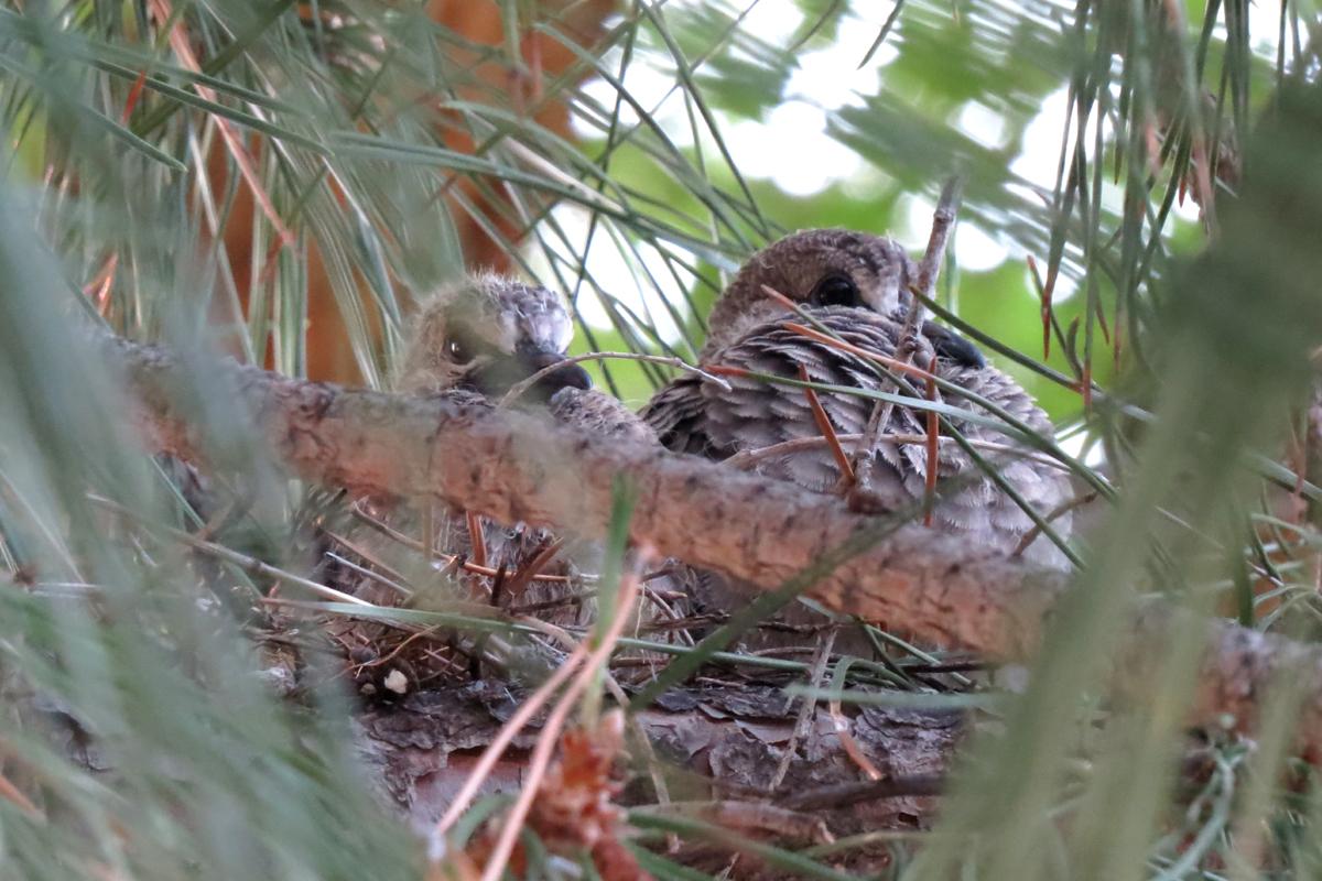 mourning dove nest box