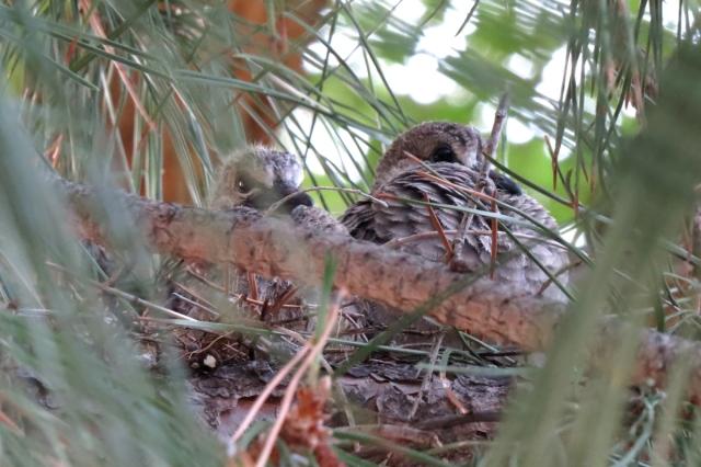 mourning dove nestlings