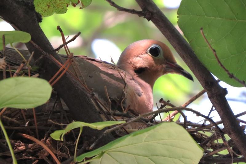 Mourning Dove Nesting Platform Plans Free Download