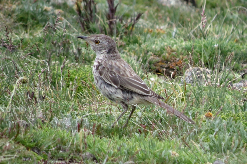 pipit 2