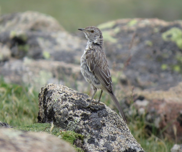pipit 4