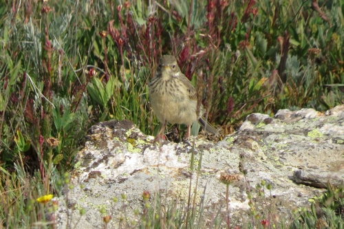pipit front